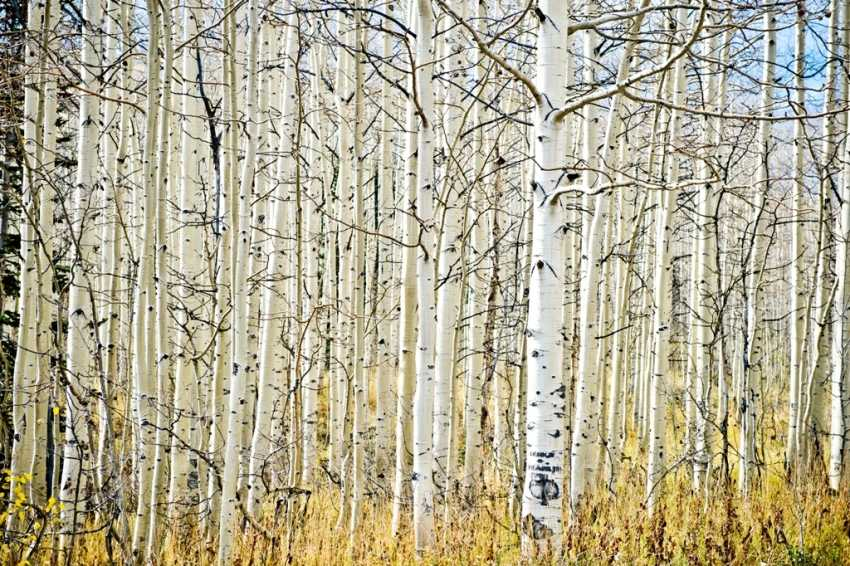 White Birch Trees Park City UT Shellie Ferrer Luxury Event Planner